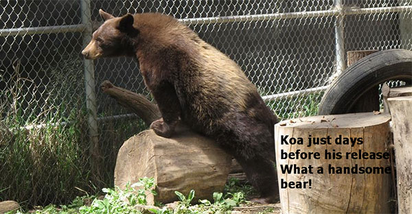 Idaho Black Bear Rehab